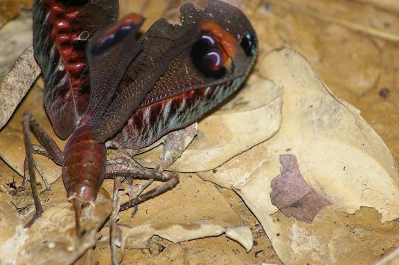 Orthoptera : Tettigoniidae : Pseudophyllinae : Pterochroza ocellataLINNAEUS, 1758. Crique Tortue, près de Saut Athanase (Guyane). 21 novembre 2011. Photo : J.-M. Gayman