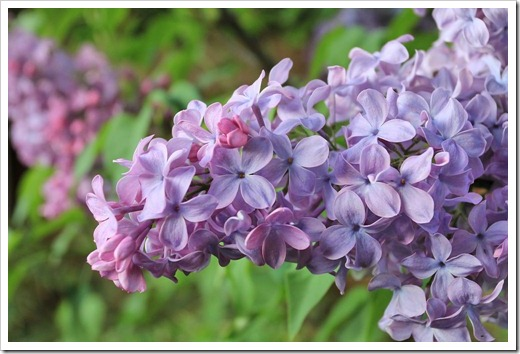 130328_Syringa-vulgaris-Blue-Skies_08