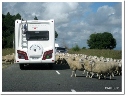 Silly sheep didn't know which way they were supposed to be going.