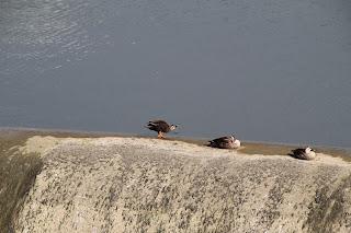越流部で羽を休めるカモたち