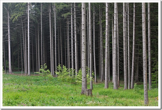 120506_spruce-forest_02