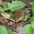 Upper Peninsula Wildlife of Michigan