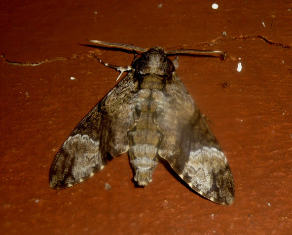 Sphingidae : Sphinginae : Coelonia fulvinotata BUTLER, 1875. Réserve d'Ankarafantsika (50 km à l'est de Majunga), 210 m d'altitude, 7 février 2011. Photo : T. Laugier