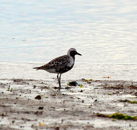 6. black-bellied plover-kab