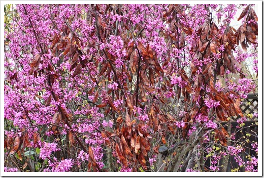 120313_Cercis-occidentalis_16