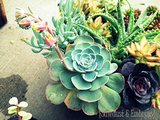 Succulents {Sawdust and Embryos}