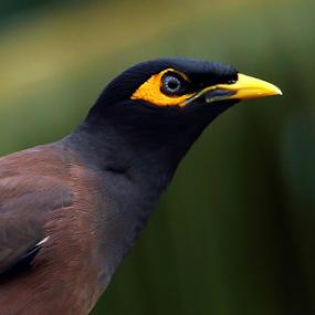 Common Myna by Ramesh Kallampilly - Animals Birds ( bird, adventure, nature, myna, birds,  )