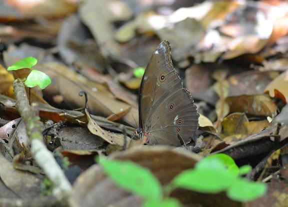 Morpho menelaus LINNAEUS, 1758. Camp Caïman, Montagne de Kaw (Guyane). 13 novembre 2011. Photo : M. Belloin