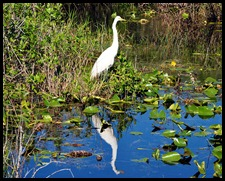 10 - Great White Egret