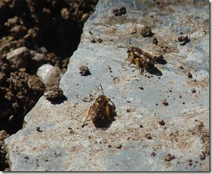 mining bees sunning