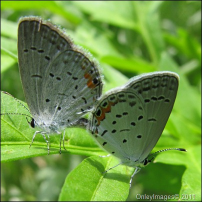 coral hairstreak0628 (1)