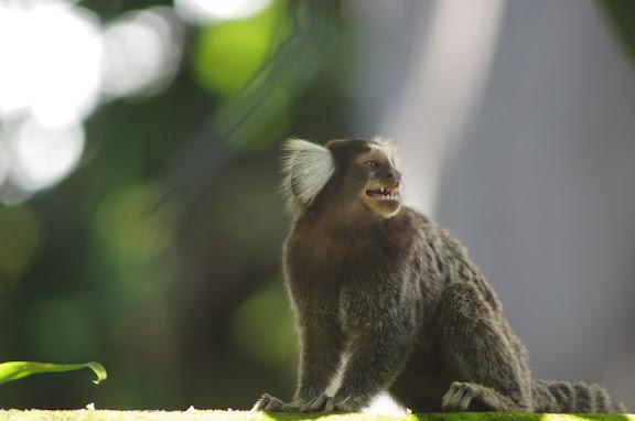 Ouistiti : Callithrix jacchus LINNAEUS, 1758. Paraty (RJ). 5 février 2012. Photo : J.-M. Gayman