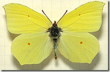 220px-Gonepteryx_rhamni_mounted