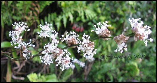 01-30-callisia-fragrans