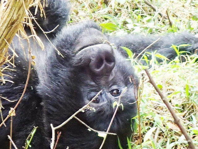 Gorilla Tracking 074.JPG