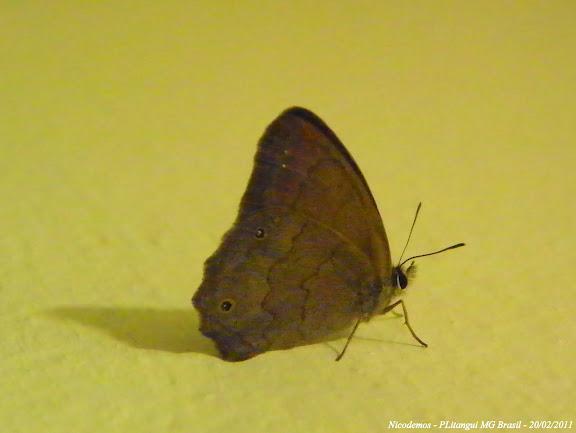 Satyrinae non identifié. Pitangui (MG, Brésil), 20 février 2011. Photo : Nicodemos Rosa