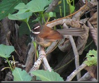 567 White browed fantail