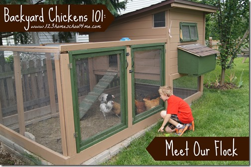 Backyard Chickens 101: Meet our Flock…and {oops} a Rooster!