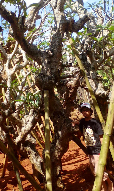 Gambar pohon kamboja fosil
