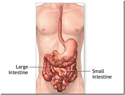small intestine and Large intestine