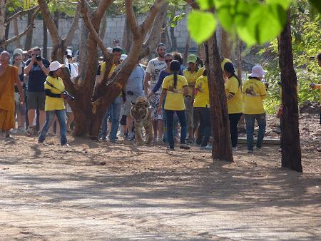 Templul tigrilor Thailanda - cu tigru la plimbare