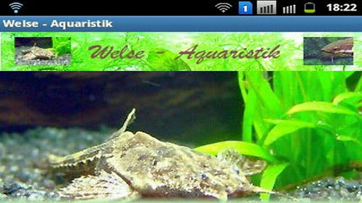 Welse - Aquaristikratgeber