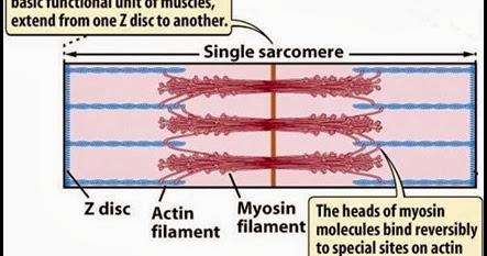 what is the relationship between actin troponin and tropomyosin