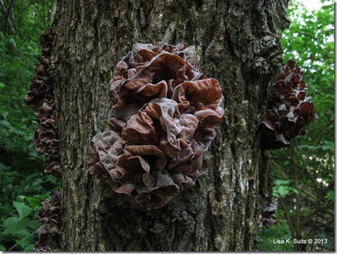wood ears on tree