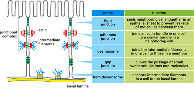cell junctions summary