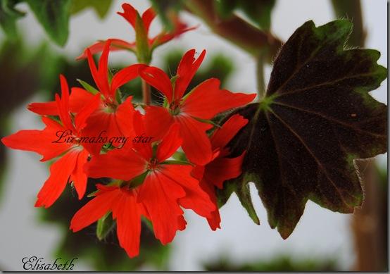 Pelargonium juni-11 018