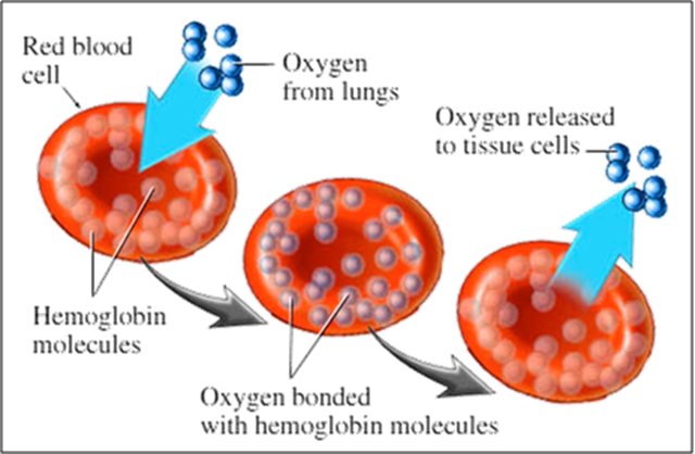 Hemoglobin in RBC