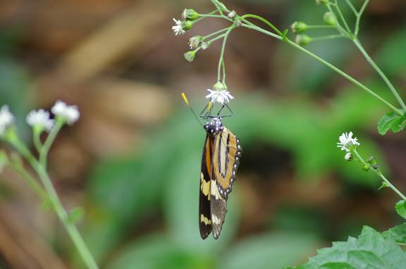 Ithomiinae : Melinaea ethra GODART, 1819 (?). Sertao de Barra do Una (SP). 9 février 2012. Photo : J.-M. Gayman