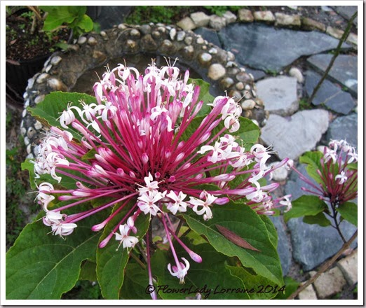 02-10-clerodendrum