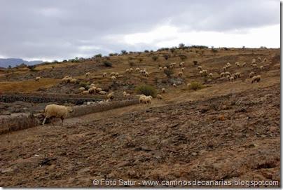 6764 Presa de las Niñas-Soria(Ganado oveas)