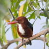 White Throated King fisher