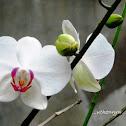 Moth Orchid, Anggrek Bulan