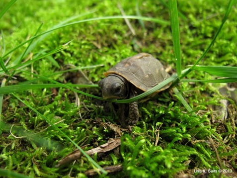 baby box turtle navigating grass