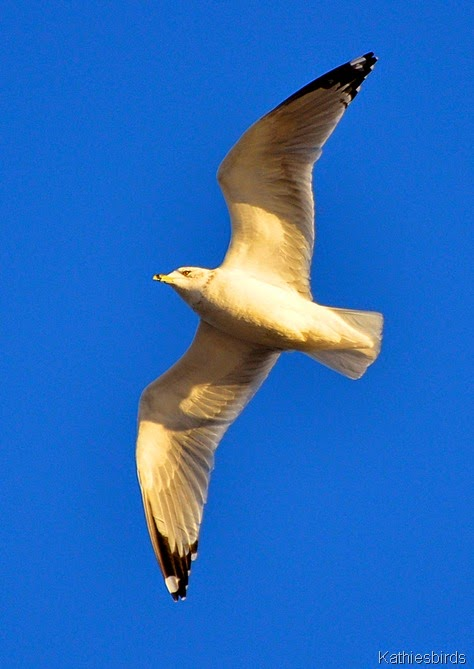 12. ring billed gull-kab
