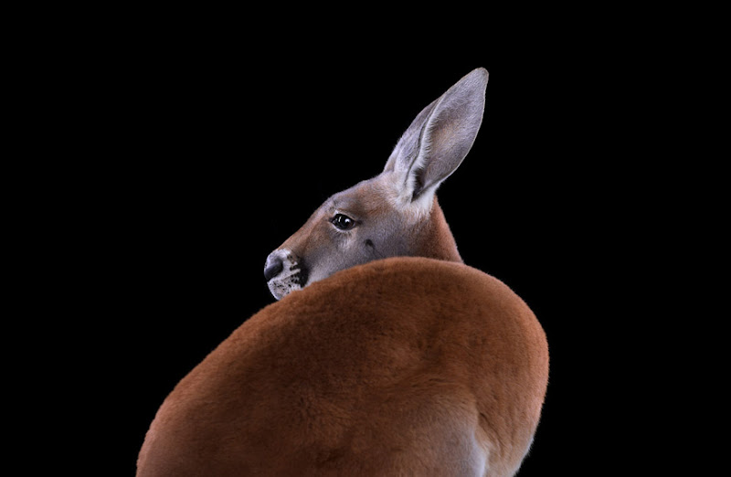 animal-photography-affinity-Brad-Wilson-kangaroo-2.jpeg