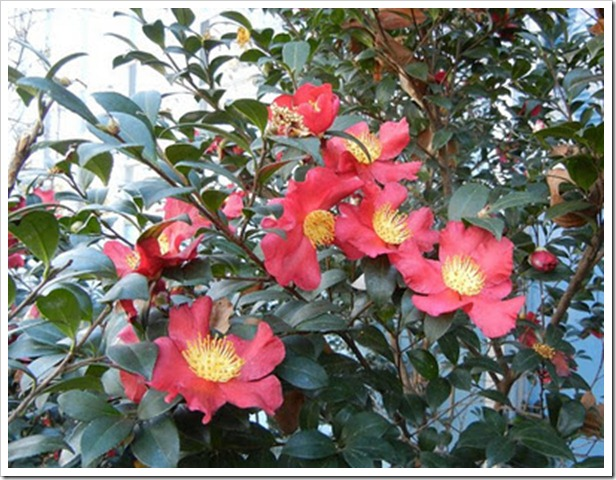 christmas-camellia-blooms