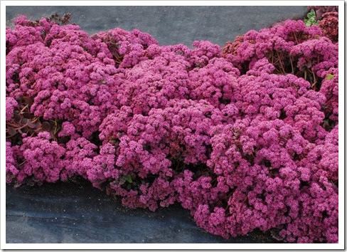 Sedum 'Cherry Tart' on 8-25-13