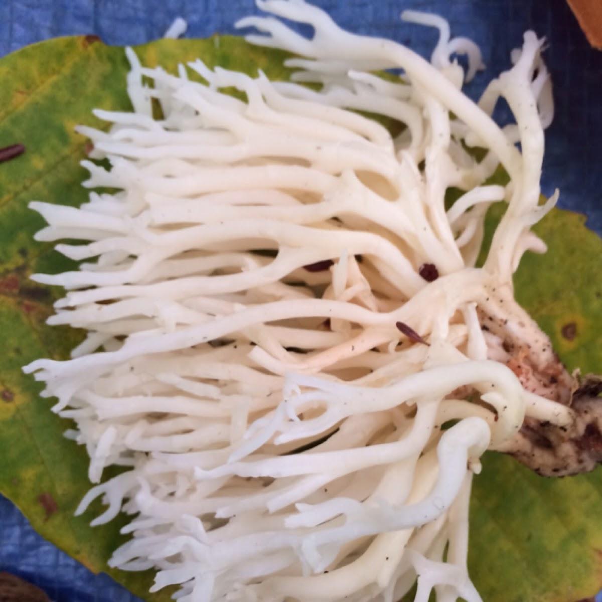 White Coral Fungus