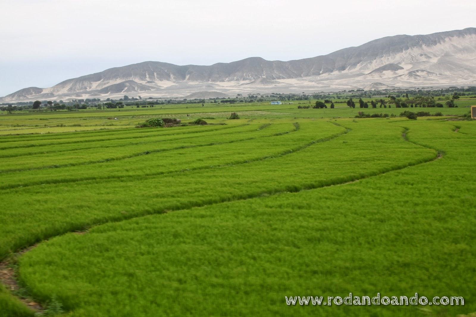 los arrozales contrastan con su intenso verde