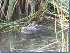 6458 Texas, South Padre Island - Birding and Nature Center - American Alligator at blind #5