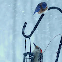 Red-bellied Woodpecker (and Eastern Bluebird)