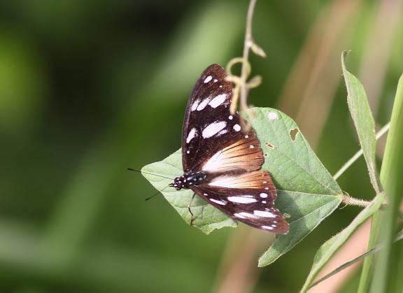 Papilio echerioides TRIMEN, 1868, femelle. Parc National de Korup (Cameroun), 2 mars 2012. Photo : Timothy Boucher