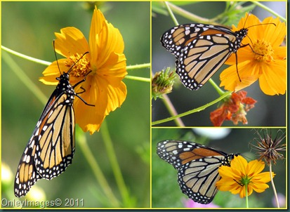 monarch collage0825
