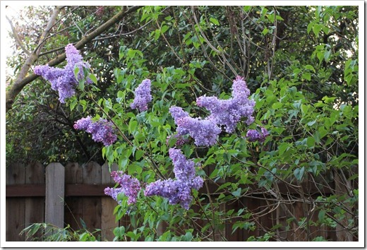130328_Syringa-vulgaris-Blue-Skies_01