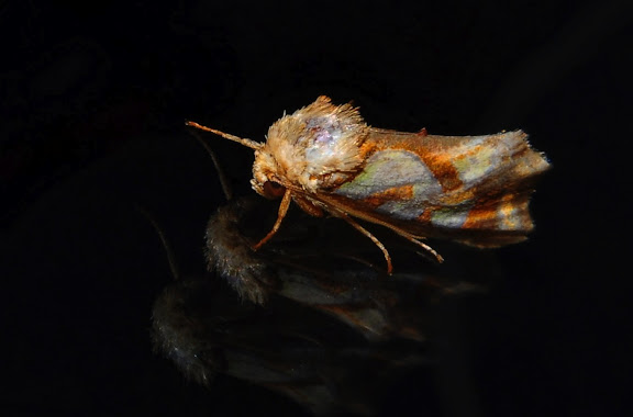 Noctuidae : Amphipyrinae : Cosmodes elegans DONOVAN, 1805. Umina Beach (NSW, Australie), 28 septembre 2011. Photo : Barbara Kedzierski