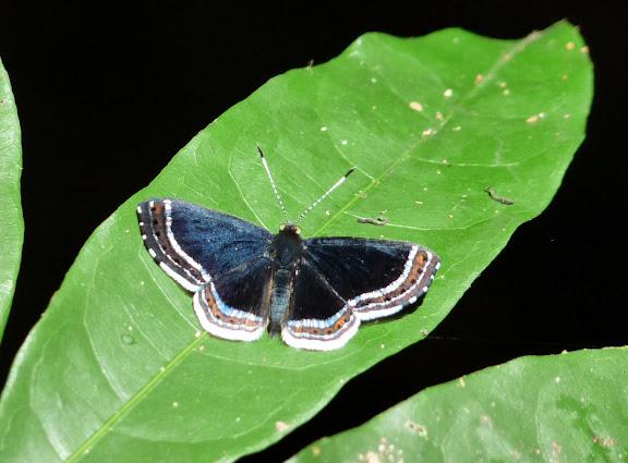 Riodinidae : Detritivora cleonus STOLL, 1781, mâle. RN2 près de la Rivière Comté, 17 octobre 2011. Photo : C. Chazal